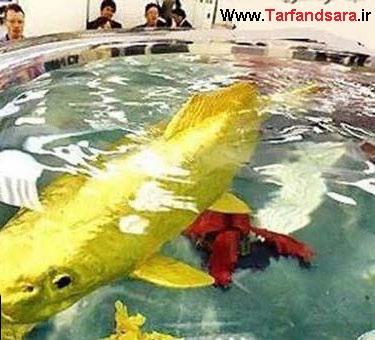 عکس,عکس ماهی,ماهی از طلای خالص,عکس حیوانات,گران ترین ماهی دنیا,ترفندستان,ترفندسرا,عکس دختر,عکس دختر ایرانی